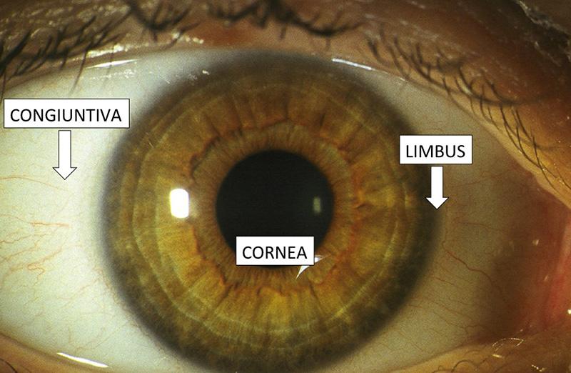 Anatomia della cornea - Figura 1